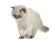 英国长发小猫走,看下来, 5个月 免版税图库摄影