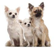 5 8 μηνών chihuahuas τρία έτη Στοκ φωτογραφίες με δικαίωμα ελεύθερης χρήσης