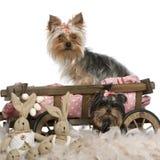 5 9 месяцев старых terriers 2 yorkshire Стоковые Изображения RF