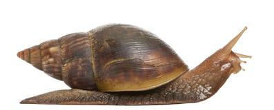 5 achatina非洲fulica巨型蜗牛 免版税库存照片