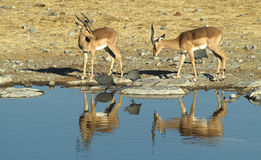 5 afrikanska djur Arkivfoton
