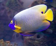 5 angelfish blueface Obraz Royalty Free