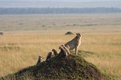 5 animaux de guépard Images stock