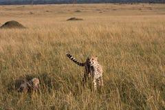 5 animaux de guépard Image libre de droits