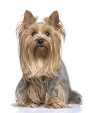 5 ans Yorkshire de chien terrier Photo stock
