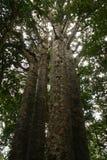 5 arbres de Kauri de soeurs Images libres de droits