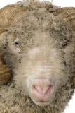 5 arles关闭几年的美利奴绵羊的老公羊绵&#3 免版税库存图片