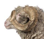 5 arles美利奴绵羊的老公羊绵羊侧视图年 免版税库存照片