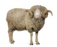 5 arles美利奴绵羊的老公羊绵羊年 库存照片