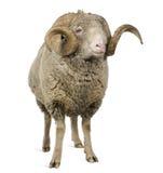 5 arles美利奴绵羊的老公羊绵羊年 免版税图库摄影