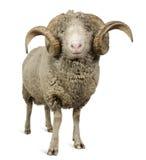 5 arles美利奴绵羊的老公羊绵羊年 免版税库存照片