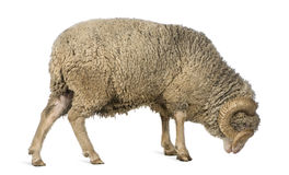 5 arles美利奴绵羊的老公羊绵羊常设年 库存图片