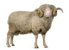 5 arles美利奴绵羊的老公羊绵羊年 库存图片