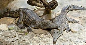 5 australijczyków krokodyl Zdjęcia Royalty Free