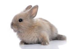 5 behandla som ett barn bruna gammala kaninveckor Fotografering för Bildbyråer