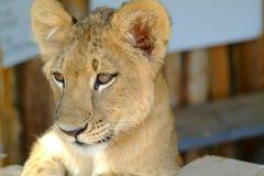 5 behandla som ett barn lionen Royaltyfri Foto