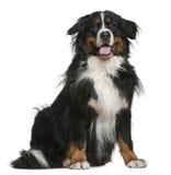 5 bernese σκυλιών έτη συνεδρίαση&sig Στοκ Εικόνες