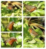 5 Bilder des Rotkehlchens mit waxworms Collage Stockfotografie