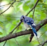5 blåa jay Royaltyfria Foton