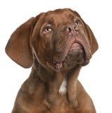 5 bordeaux de dogue som ser den gammala valpen för månader Royaltyfri Fotografi