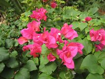 5 bougainvillea kwiatu menchii Zdjęcia Royalty Free