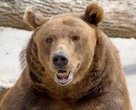 5 brown bear Zdjęcie Royalty Free