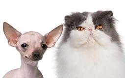 5 chihuahua bezwłosych miesiąc stary pers Zdjęcie Royalty Free