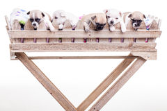 5 Chihuahua Puppies i Royalty Free Stock Photography