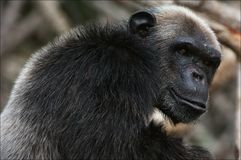 5 cimpanzee纵向 图库摄影