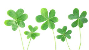 5 Clovers. Five green clovers ready for St. Patricks Day Royalty Free Stock Images