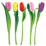 5 color tulips. Over white background Royalty Free Stock Images