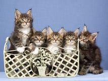 5 de katjes van de Wasbeer van Maine in een rij royalty-vrije stock foto