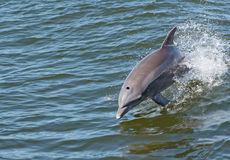 5 delfinów Obraz Royalty Free