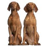 5 e 2 anos de Vizslas, velhos, sentando-se Fotografia de Stock Royalty Free