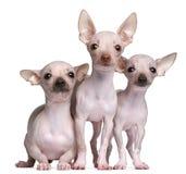 5 e 7 mesi Hairless delle chihuahua, Fotografia Stock