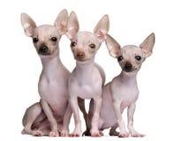 5 e 7 mesi Hairless delle chihuahua, Immagini Stock Libere da Diritti