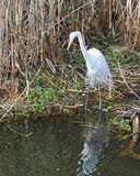 5 egret wielki biel Zdjęcia Royalty Free