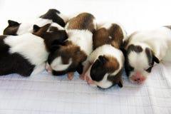 5 filhotes de cachorro a dormir Fotografia de Stock