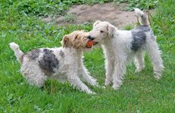 5 fox terrier Στοκ εικόνα με δικαίωμα ελεύθερης χρήσης