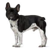 5 franska gammala plattform år för bulldogg Royaltyfria Bilder