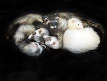 5 Frettchen auf Schwarzem Lizenzfreies Stockfoto