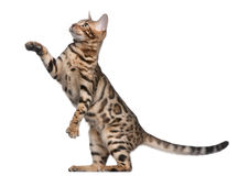 5 gammala bengal kattungemånader Arkivfoto