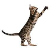 5 gammala bengal kattungemånader Royaltyfri Foto