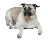 5 gammala herdeår för anatolian hund Royaltyfria Foton