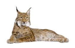 5 gammala år för eurasianlodjur Arkivbild