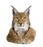 5 gammala år för eurasianlodjur Arkivfoto