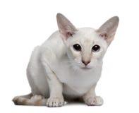 5 gammala siamese för kattungemånader Arkivfoton
