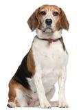 5 gammala sittande år för beagle Arkivfoto