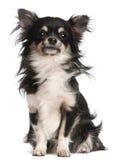 5 gammala sittande år för chihuahua Fotografering för Bildbyråer