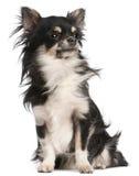 5 gammala sittande år för chihuahua Arkivfoto